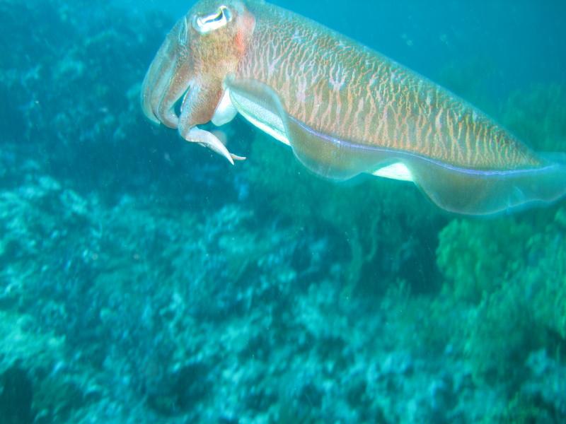 IMG_2381_Similan Island Thailand_Cuttle Fish