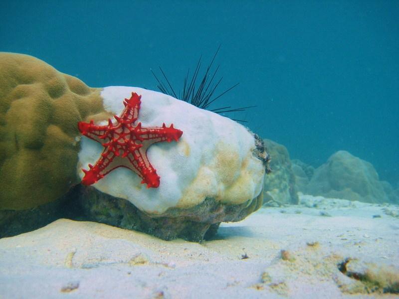 IMG_6890_Tanzania_Zanzibar_Red starfish on coral urchin back