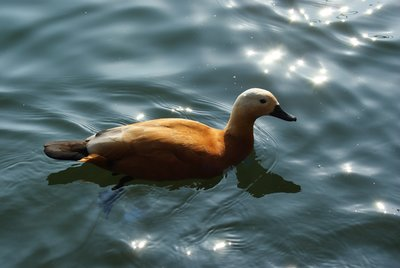 Ruddy shelduck in Tallinn zoo