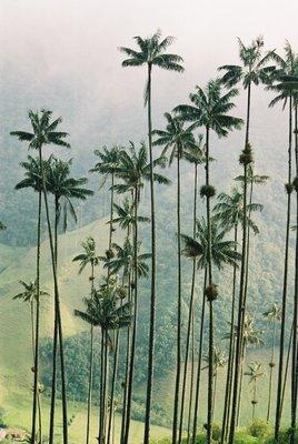 wax palm trees in Salento
