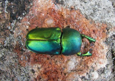 Green Beetle on a Red Rock