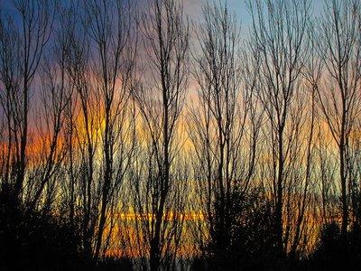 Winter Poplars at Sunset