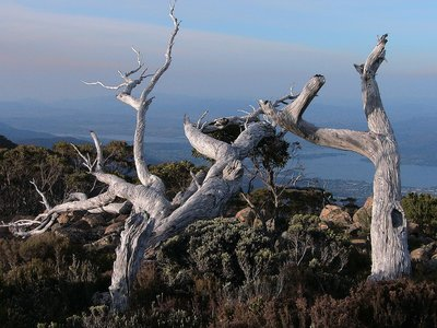 Decaying Trees - Mt Wellington
