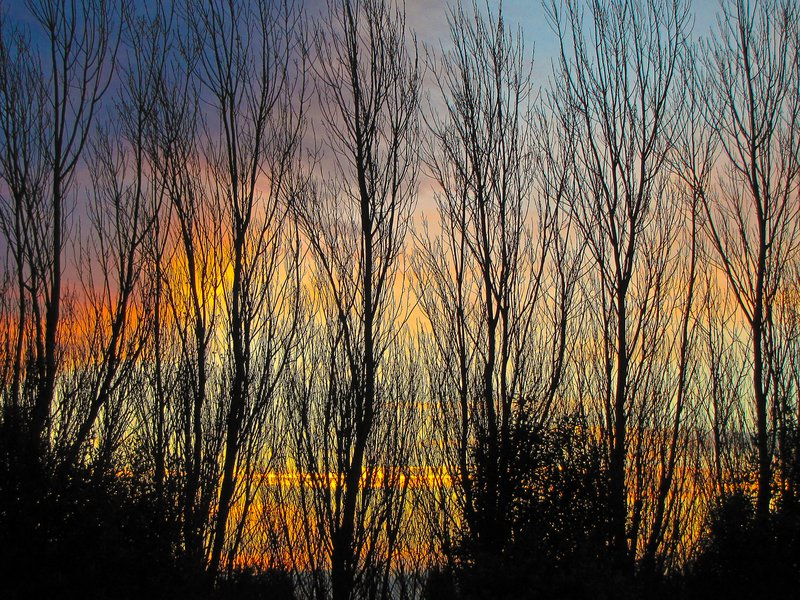 Winter Poplars at Sunset