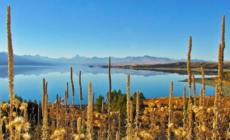 Dried Lupins frame Mt Cook Across Lake Pukaki