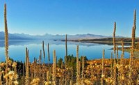 Dried Lupins frame Mt Cook Across Lake Pukaki