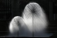 Water Dandelions