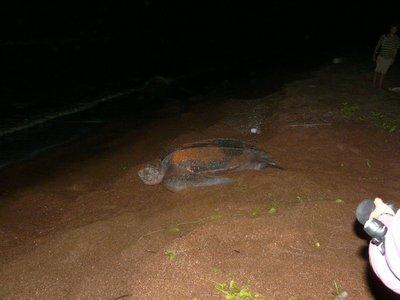Leatherback Turtle 1