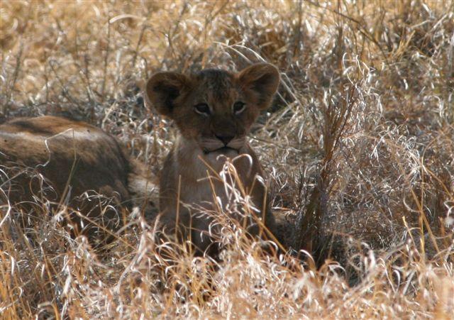 Tanzania - Lion cub - Serengeti