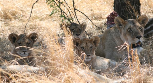 Tanzania - Lion with cubs - Serengeti