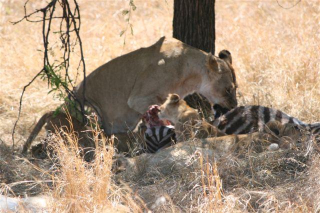 Tanzania - Lions eating zebra 1 - Serengeti