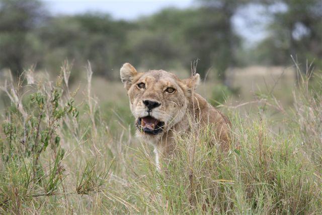 Tanzania - Lioness - Serengeti