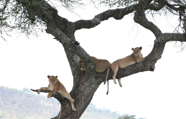 Tanzania - Lions in Tree - Serengeti