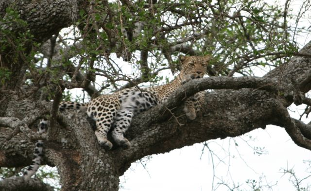 Tanzania - Leopard in tree - Serengeti
