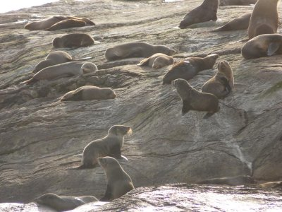 Doubtfull Sound - Local seal colony