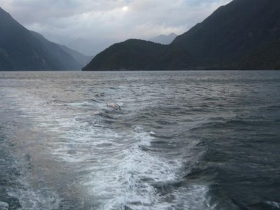 Doubtfull Sound - Dolphins in the wake
