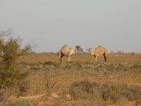 Nullarbor_-_Camels_.jpg