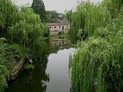 Very Chinese stand of weeping willows