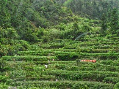 A nice tea plantation along the road