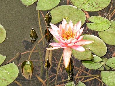 Chinese Lotus