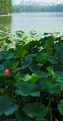 WEL Lotus Flower 7