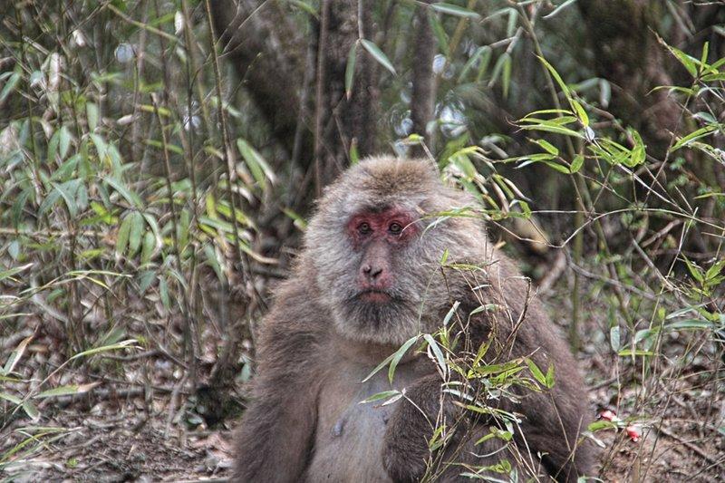 The Famous Mount Emei Monkey