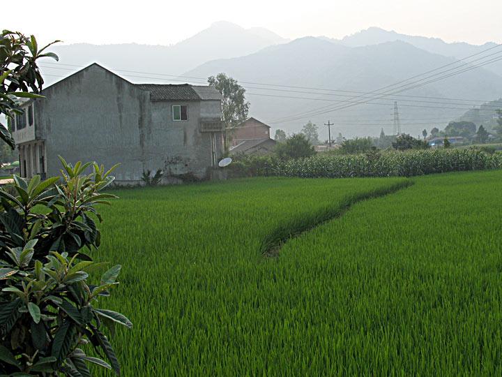 CS More Rice