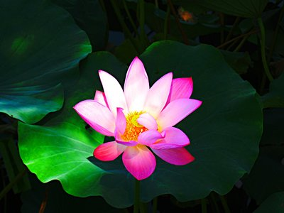 WEL Lotus Flower 4