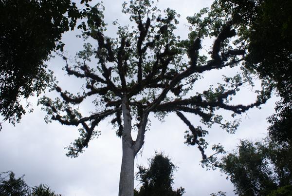 Riesenbaum again...