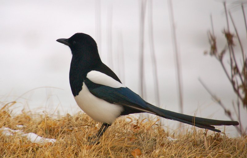 Magpie on orange grass
