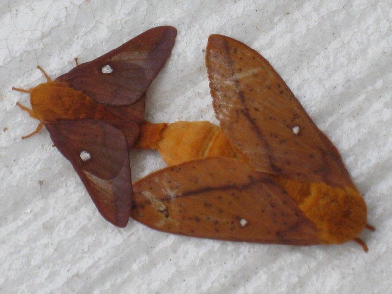 Orange Moths