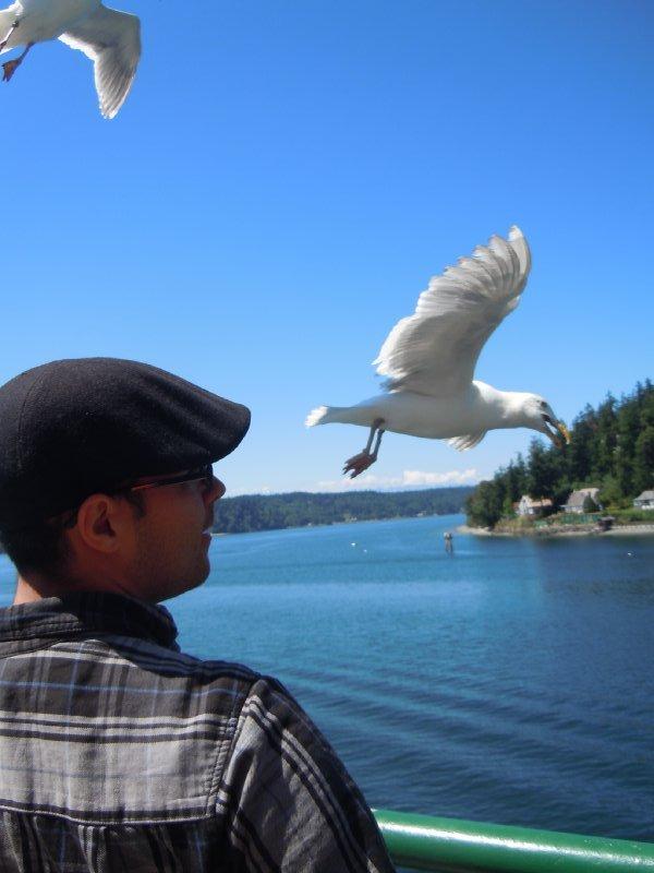 Seagulls diving