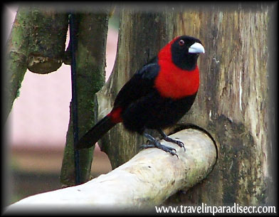 crimson collared tanager 2