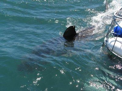 Shark_Diving_1.jpg