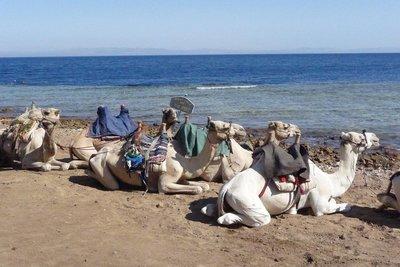 Egypt_-_Re.._Camels.jpg