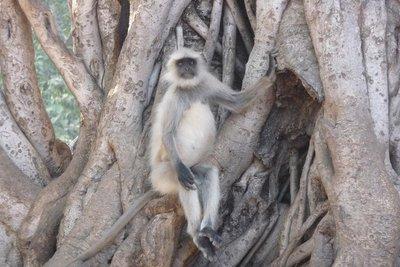 India_-_Ra.._Langur.jpg