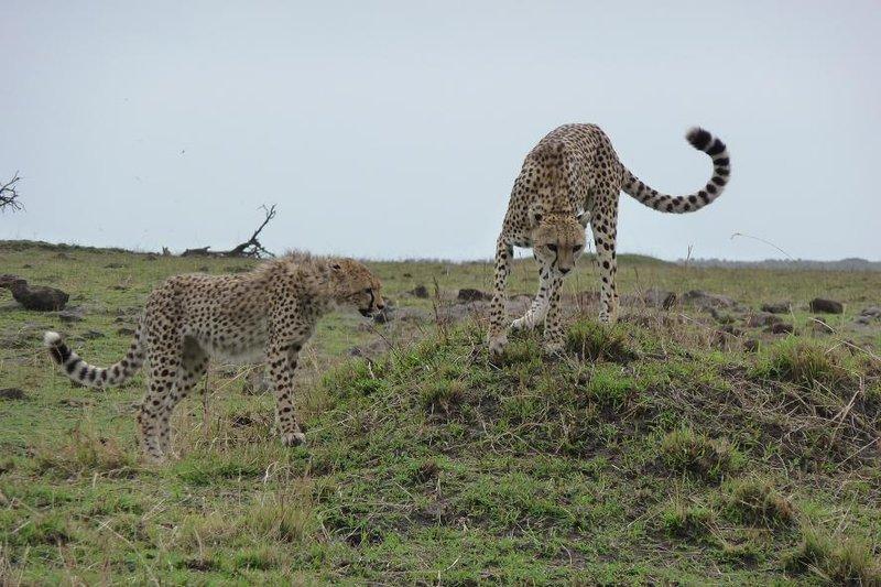 Masai Mara - Cheetah and Cub