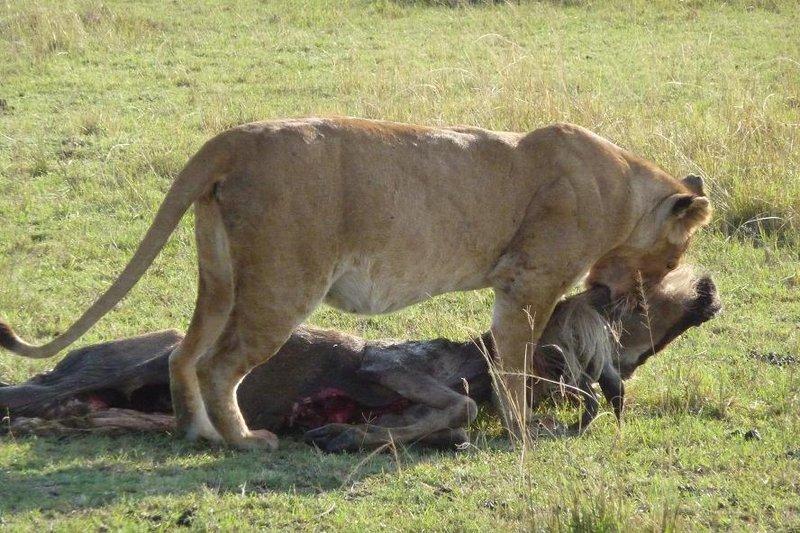 Masai Mara - Lioness Dragging Gnu