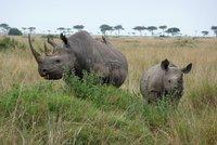 Masai Mara - Rhino and Baby