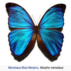 Blue_Morpho.jpg