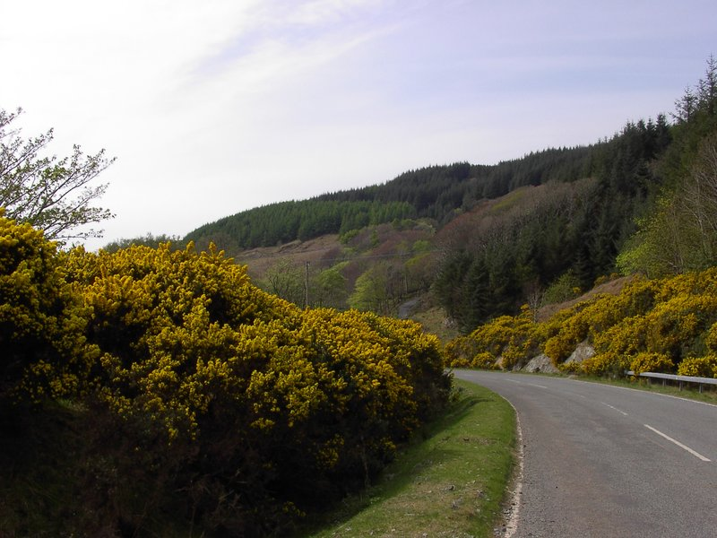 Gorse on the Aird Road