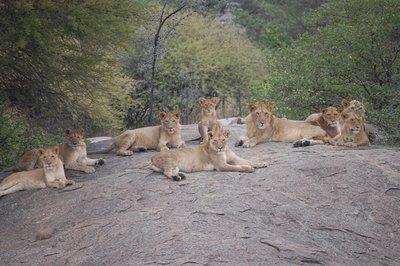 Africa_Sma..e_lions.jpg