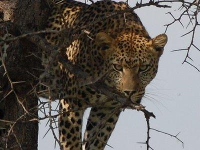 Africa_Sma..r_stare.jpg