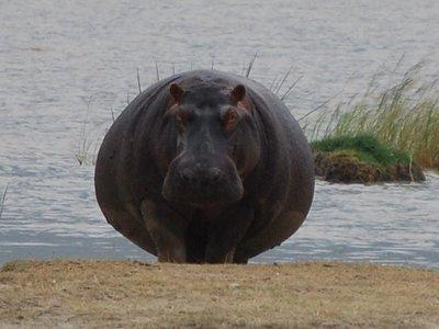 Africa_Small_08_Hippo.jpg