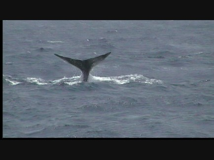 Whale Watching Dominica 3 of 4