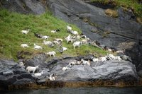 7small79 Fjord07 Goats