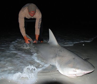 Another Bull Shark caught on Sanibel Island in 2008