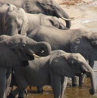 Herd of elephants drinking
