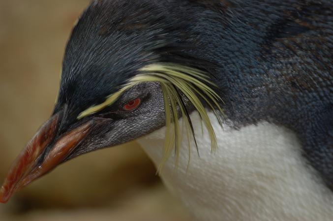 pingvin!