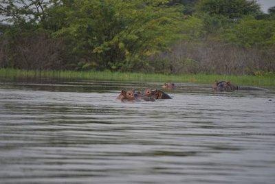 Hippos al lago Baringo
